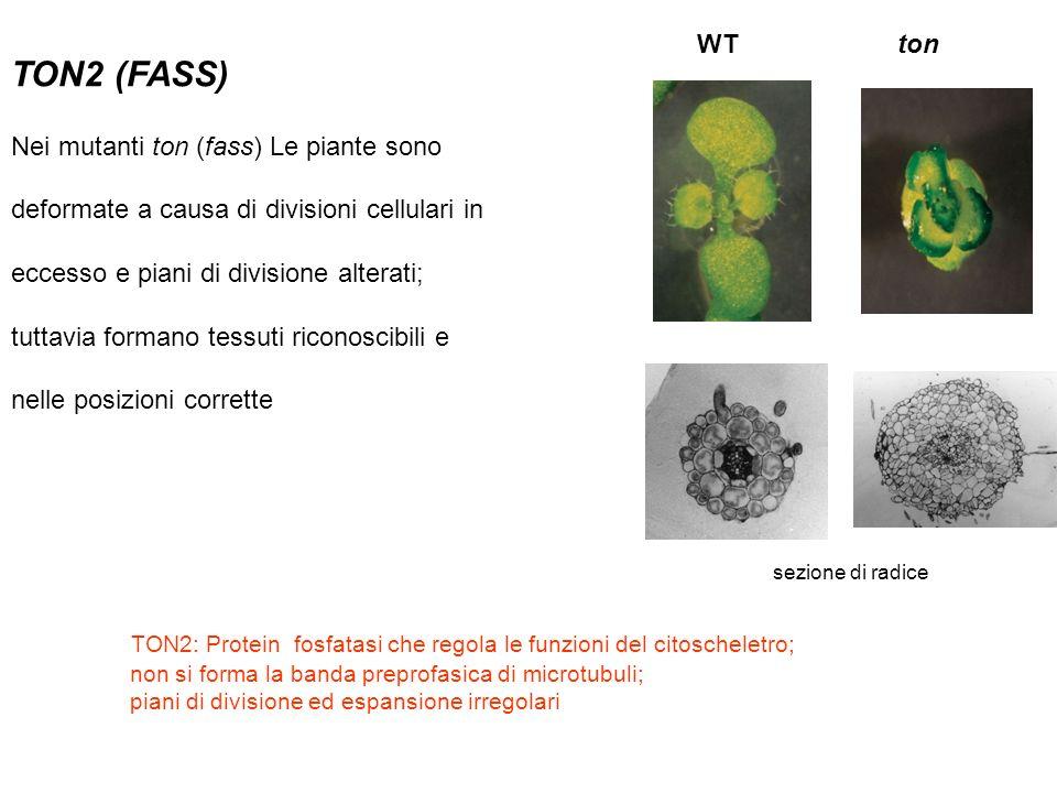 TON2 (FASS) WT ton Nei mutanti ton (fass) Le piante sono