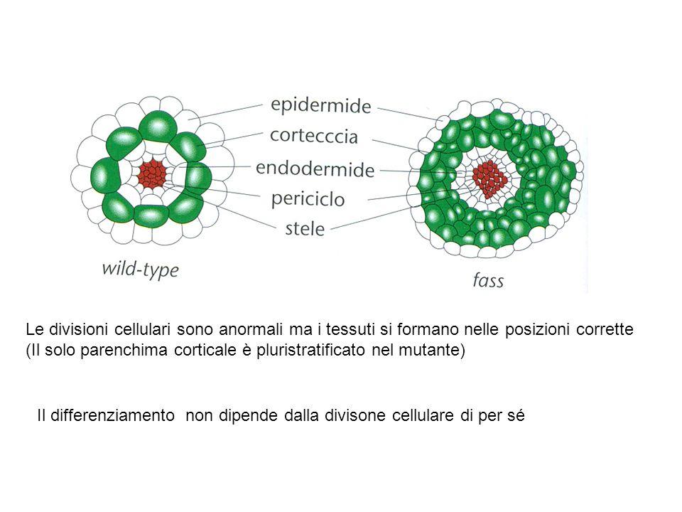 Il differenziamento non dipende dalla divisone cellulare di per sé
