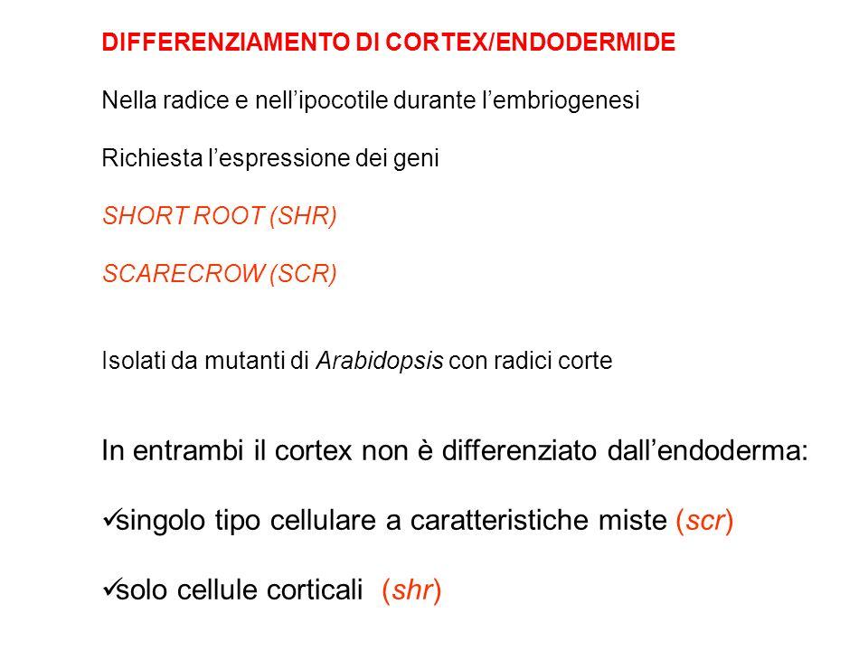 In entrambi il cortex non è differenziato dall'endoderma: