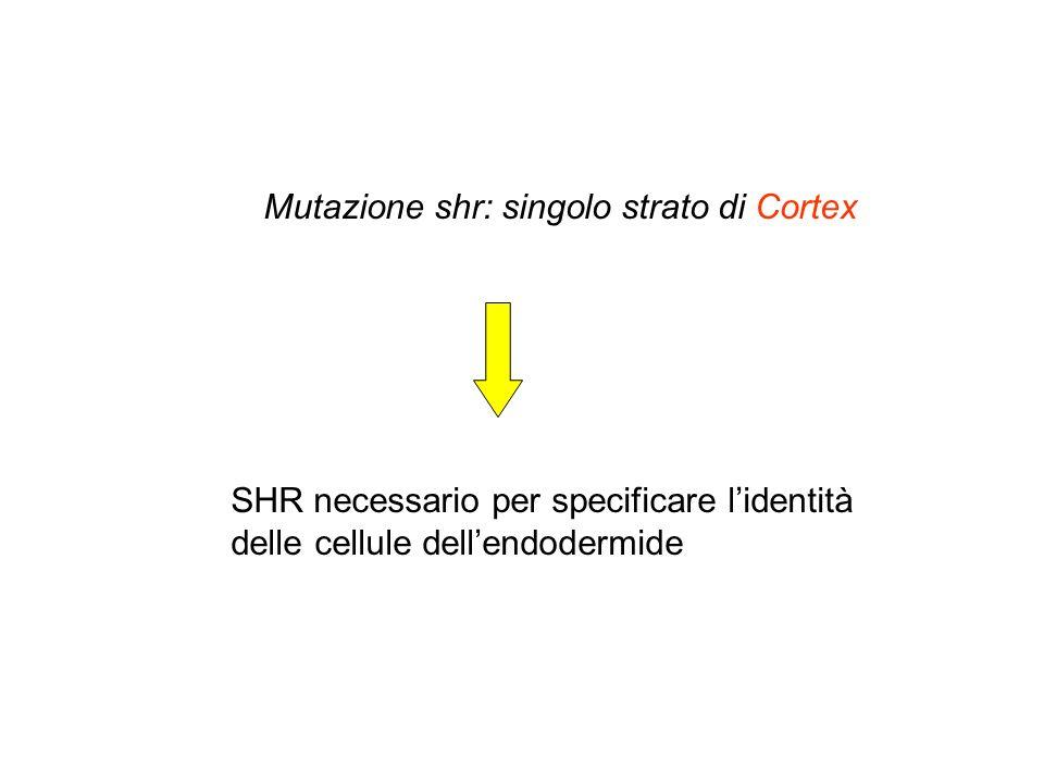 Mutazione shr: singolo strato di Cortex