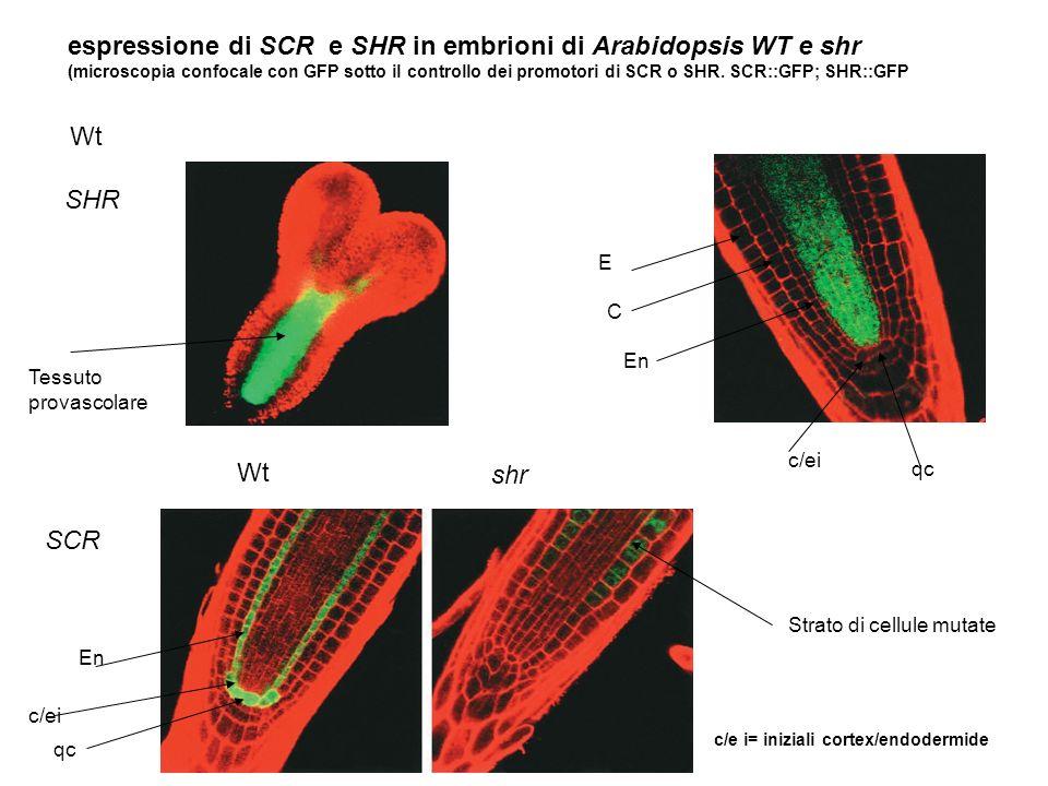 c/e i= iniziali cortex/endodermide