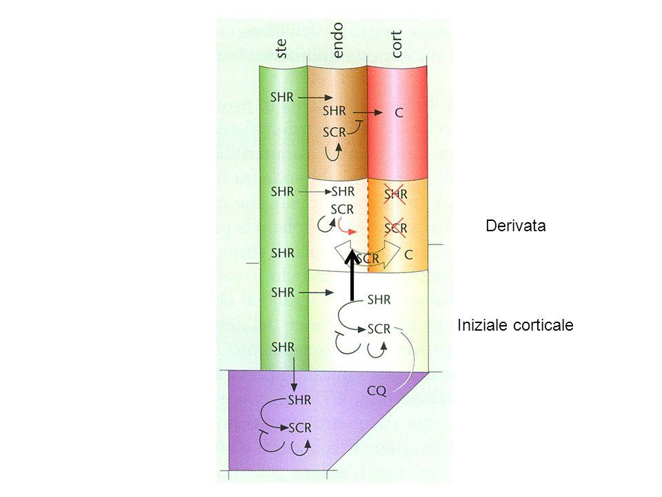 Derivata Iniziale corticale