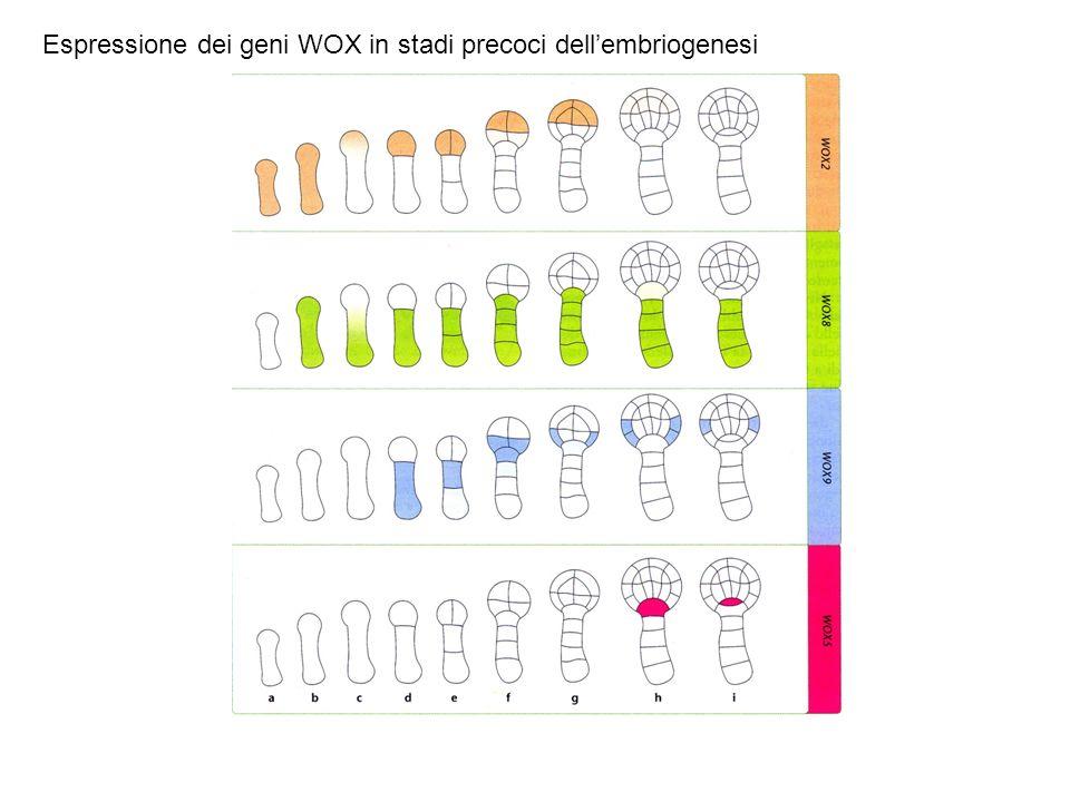 Espressione dei geni WOX in stadi precoci dell'embriogenesi