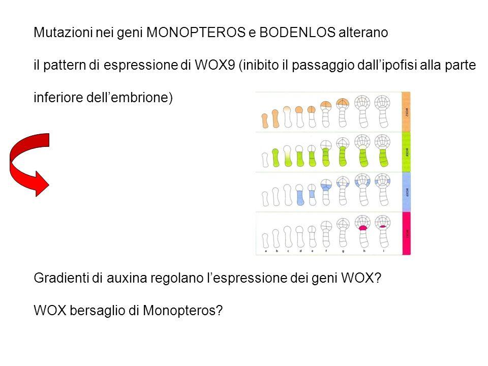 Mutazioni nei geni MONOPTEROS e BODENLOS alterano