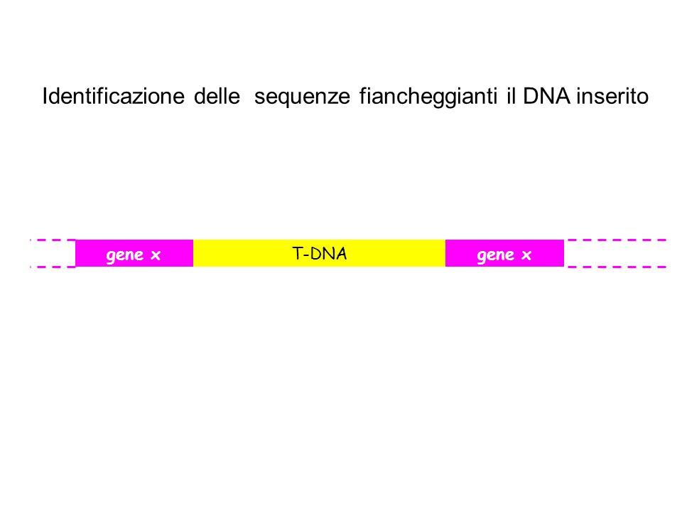 Identificazione delle sequenze fiancheggianti il DNA inserito