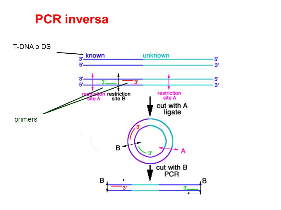 PCR inversa T-DNA o DS primers