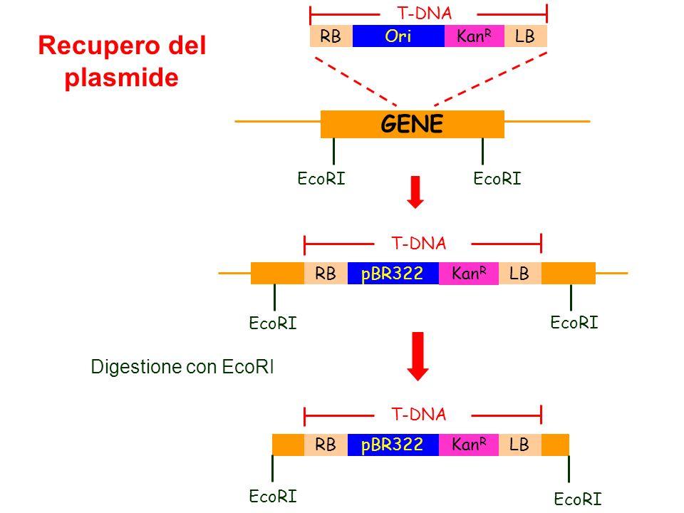 Recupero del plasmide GENE Digestione con EcoRI EcoRI RB LB Ori KanR