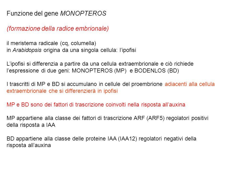 Funzione del gene MONOPTEROS (formazione della radice embrionale)