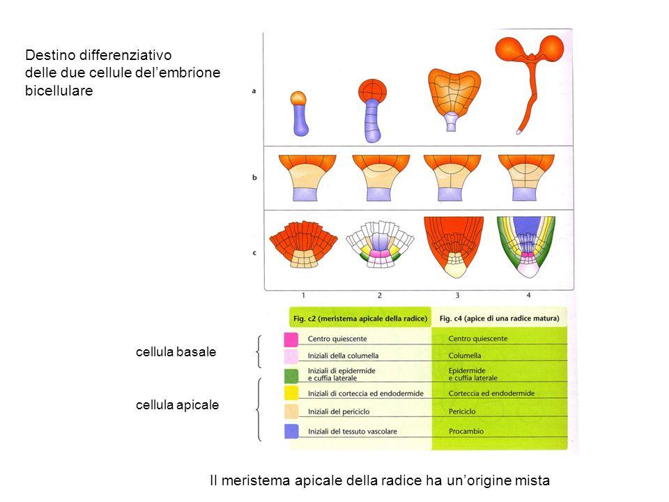 Destino differenziativo delle due cellule del'embrione bicellulare