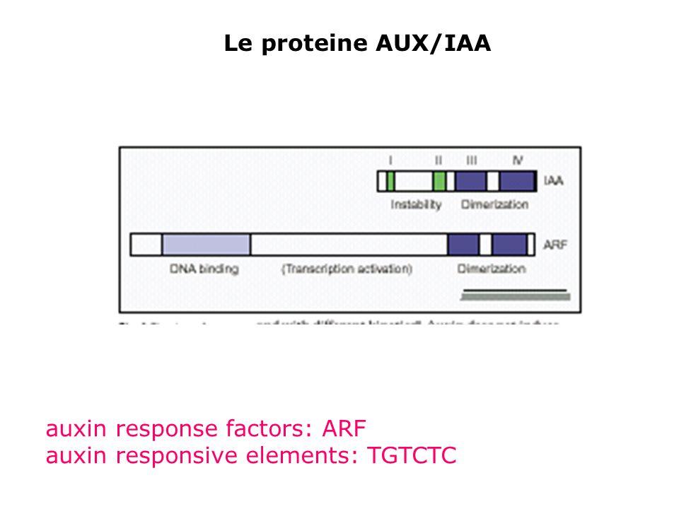 Le proteine AUX/IAA auxin response factors: ARF auxin responsive elements: TGTCTC