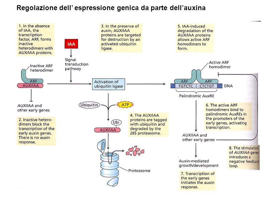 Regolazione dell' espressione genica da parte dell'auxina