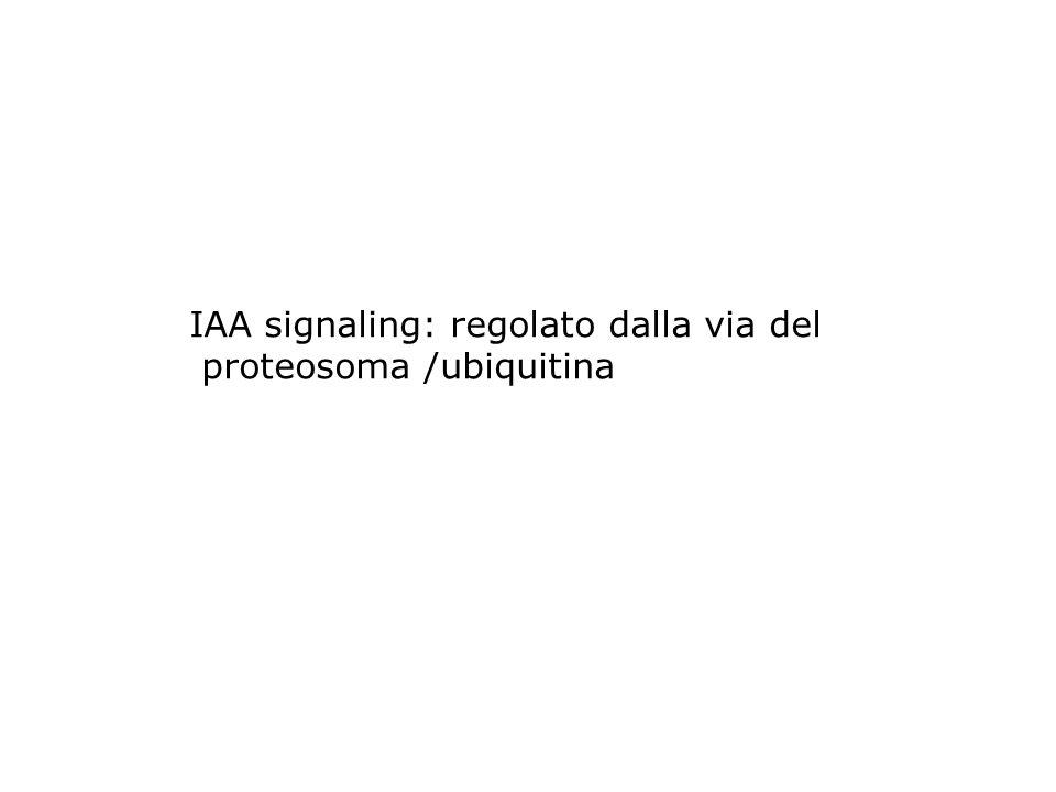 IAA signaling: regolato dalla via del