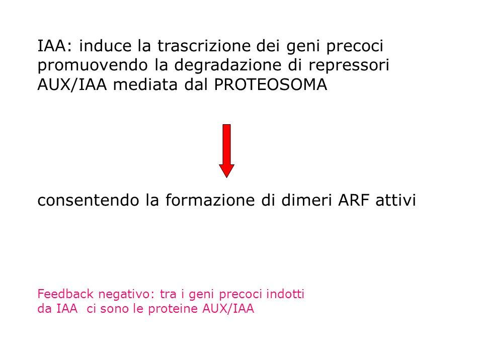 IAA: induce la trascrizione dei geni precoci