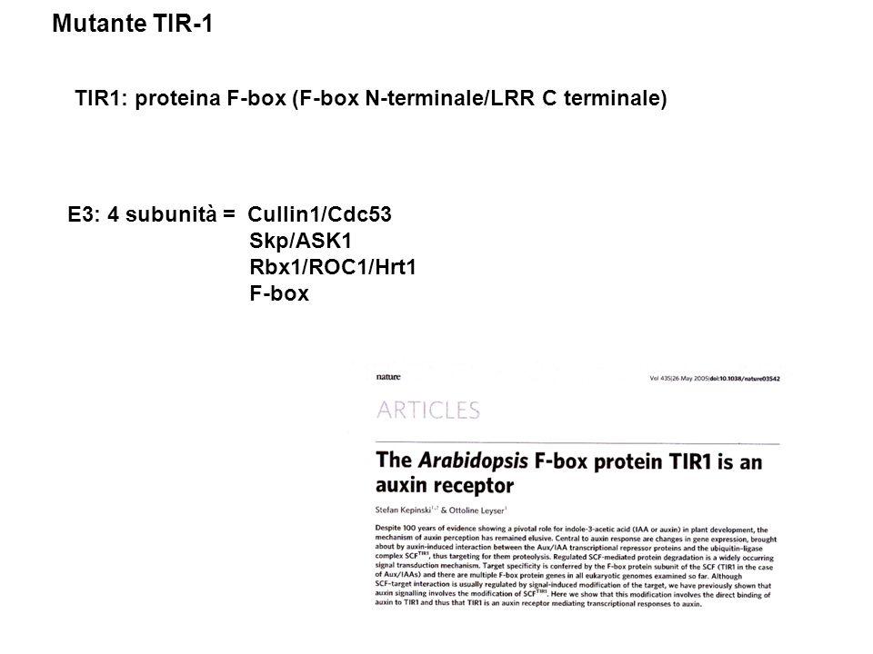 Mutante TIR-1 TIR1: proteina F-box (F-box N-terminale/LRR C terminale)