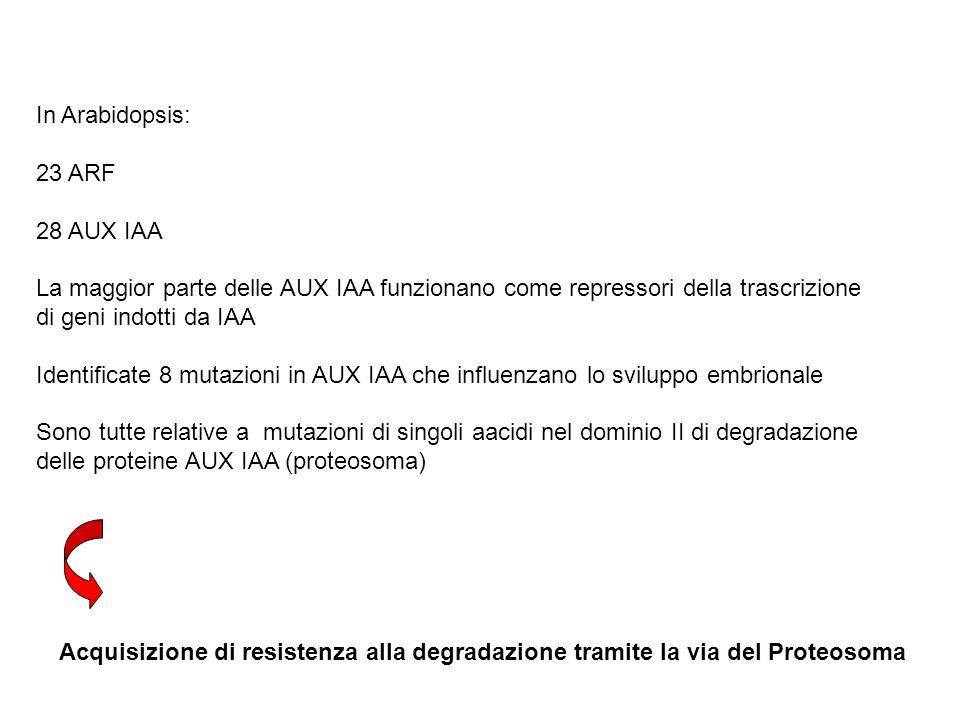 In Arabidopsis: 23 ARF. 28 AUX IAA. La maggior parte delle AUX IAA funzionano come repressori della trascrizione.