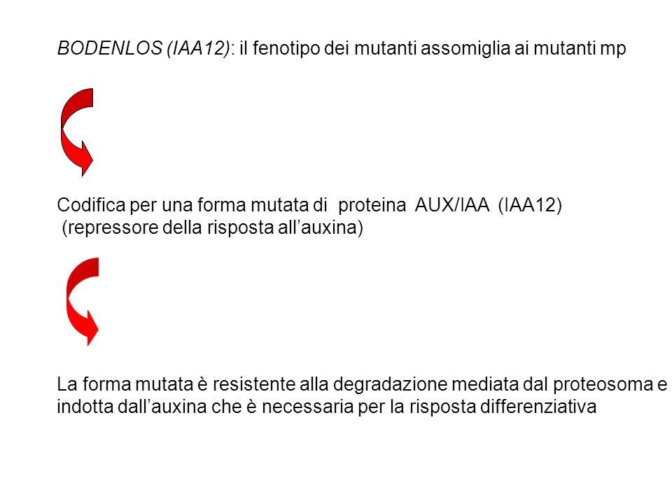 BODENLOS (IAA12): il fenotipo dei mutanti assomiglia ai mutanti mp