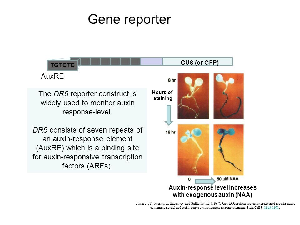 Auxin-response level increases with exogenous auxin (NAA)