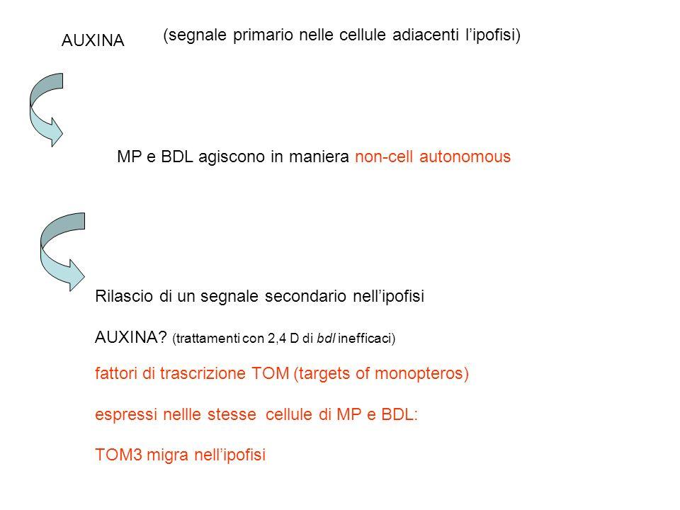(segnale primario nelle cellule adiacenti l'ipofisi)
