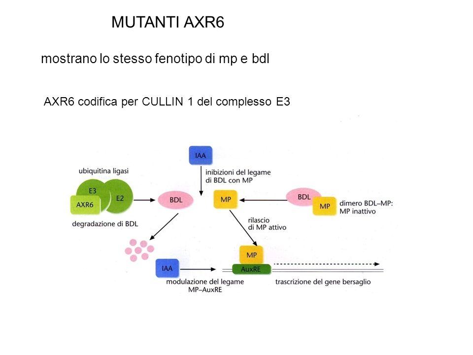 MUTANTI AXR6 mostrano lo stesso fenotipo di mp e bdl