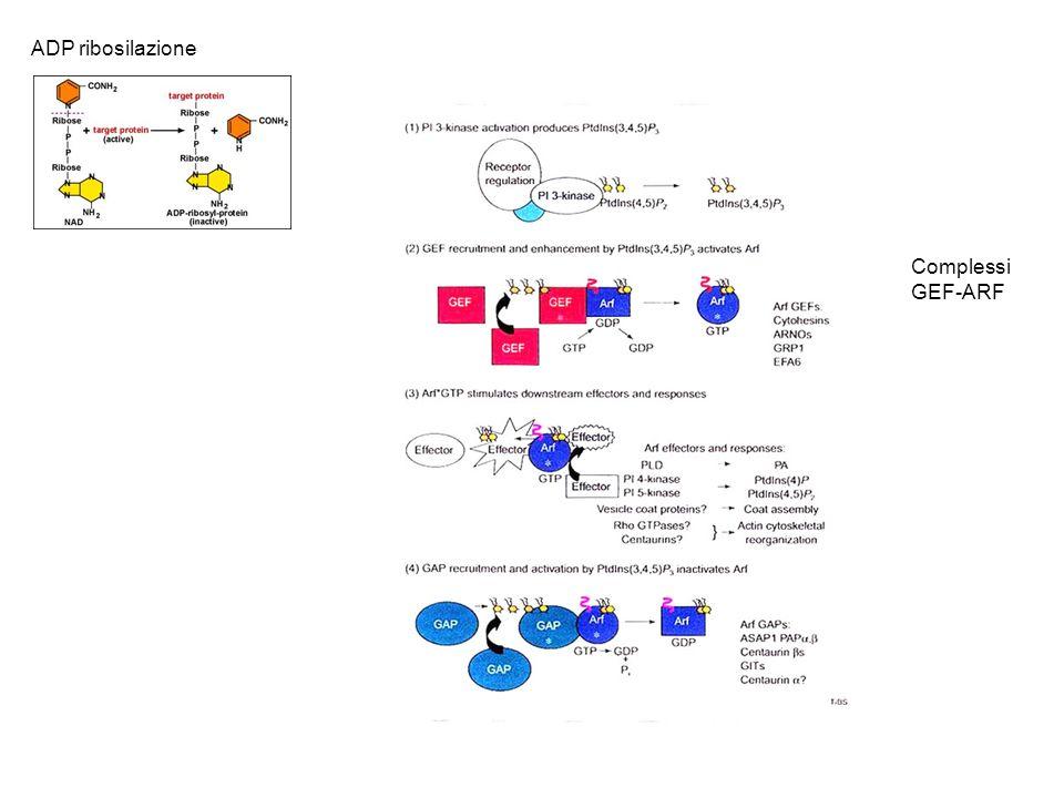 ADP ribosilazione Complessi GEF-ARF