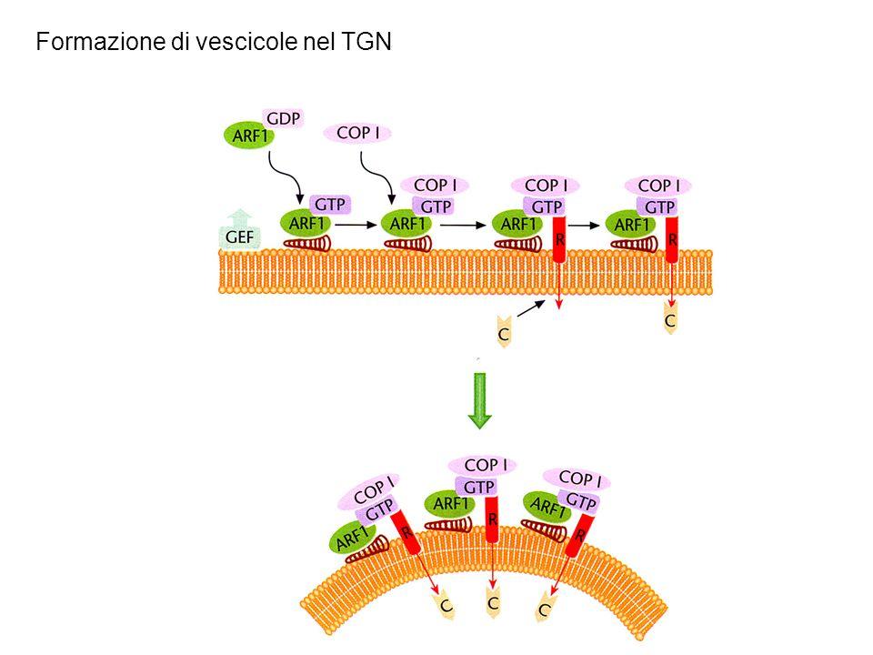Formazione di vescicole nel TGN