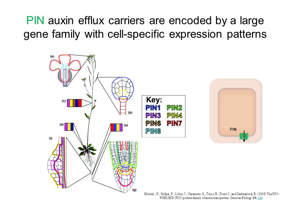 PIN auxin efflux carriers are encoded by a large gene family with cell-specific expression patterns