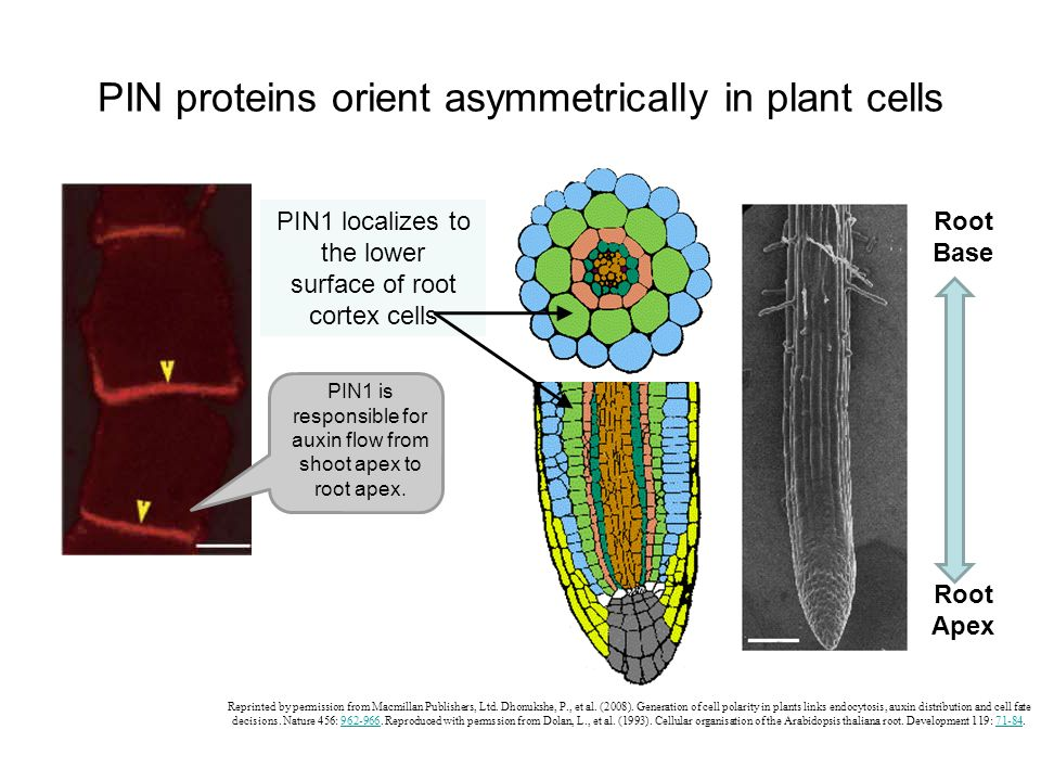 PIN proteins orient asymmetrically in plant cells