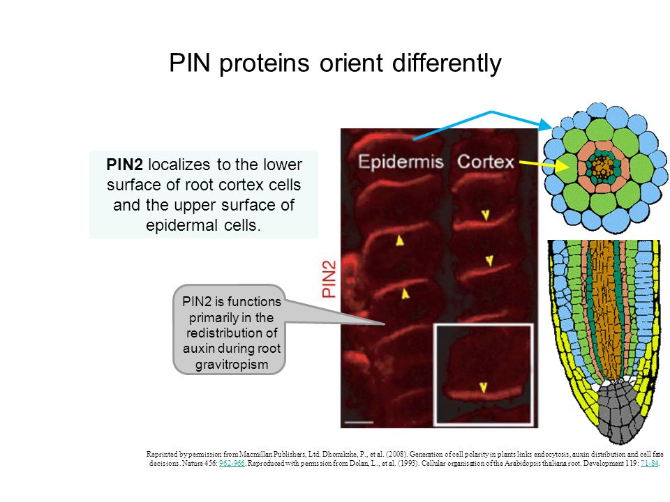 PIN proteins orient differently