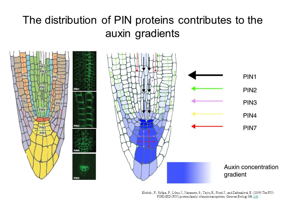 The distribution of PIN proteins contributes to the auxin gradients