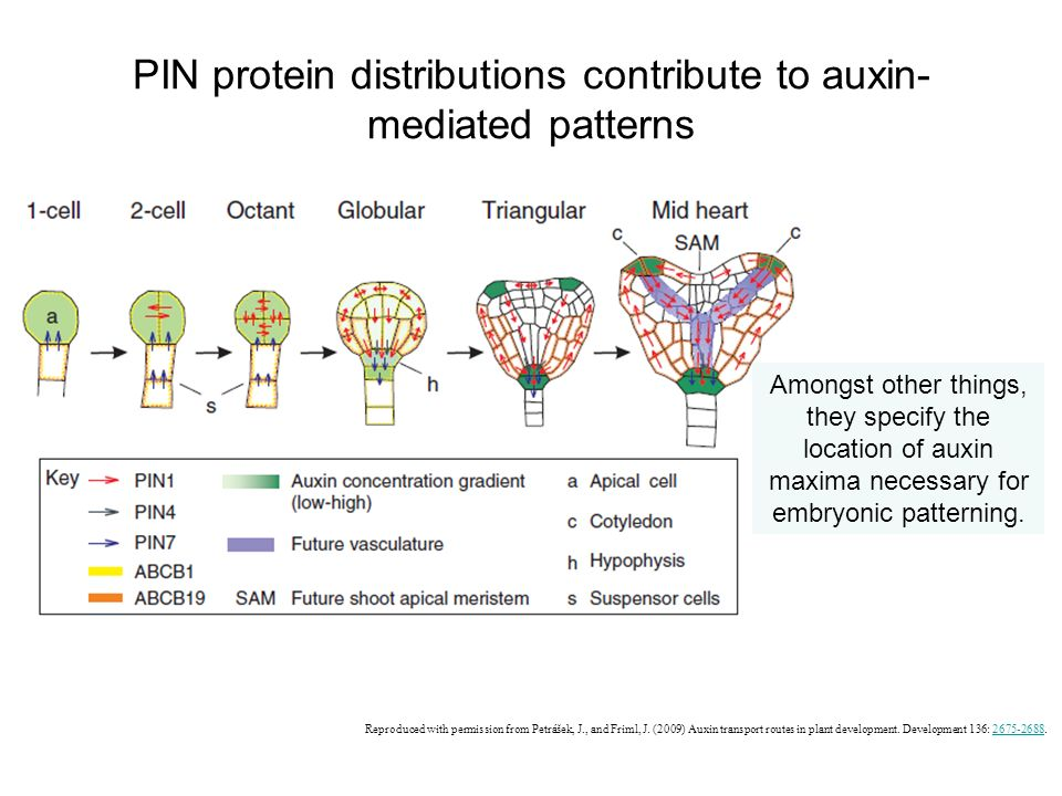 PIN protein distributions contribute to auxin-mediated patterns
