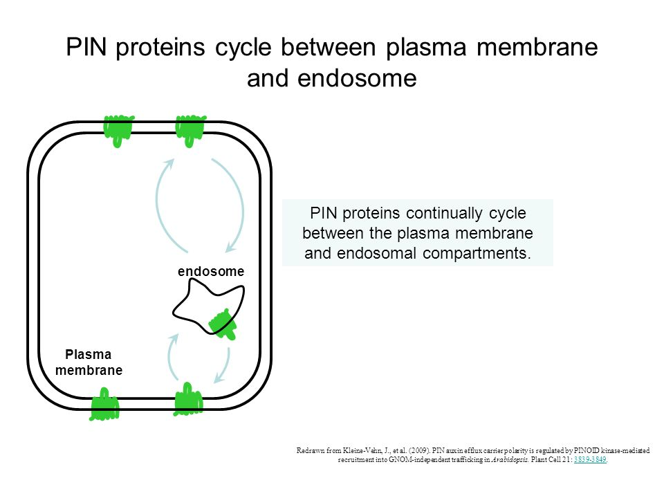 PIN proteins cycle between plasma membrane and endosome