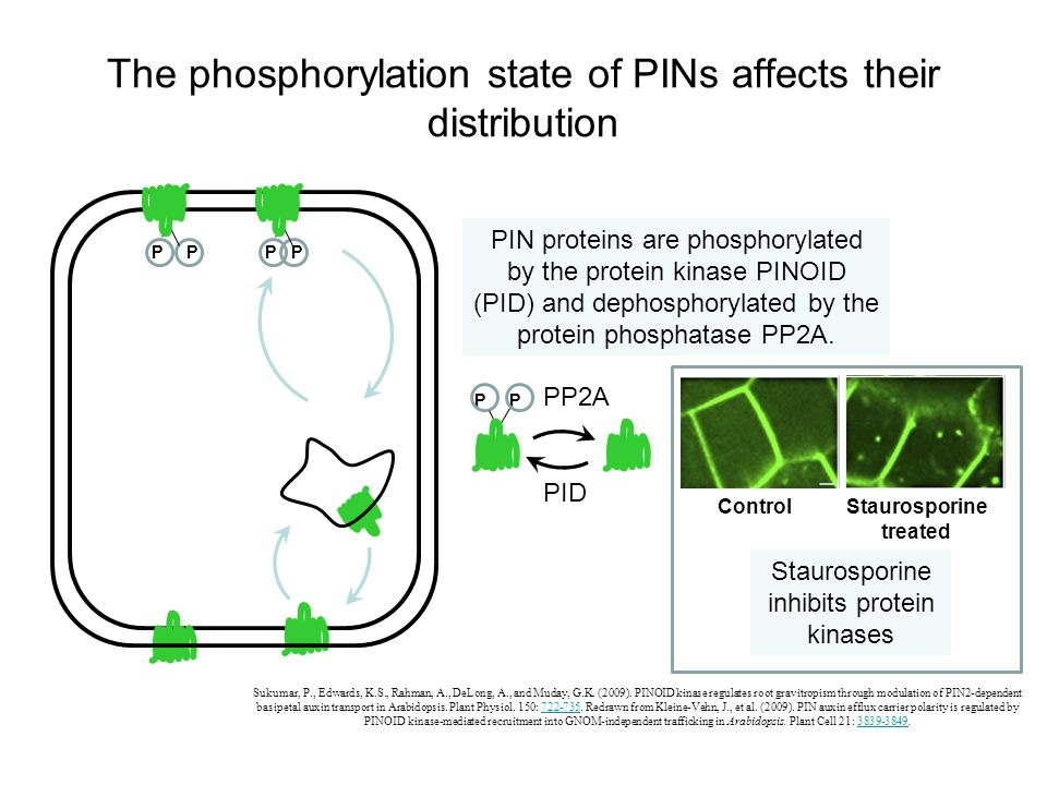 The phosphorylation state of PINs affects their distribution