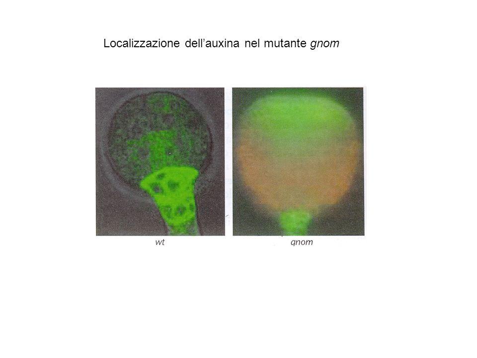 Localizzazione dell'auxina nel mutante gnom