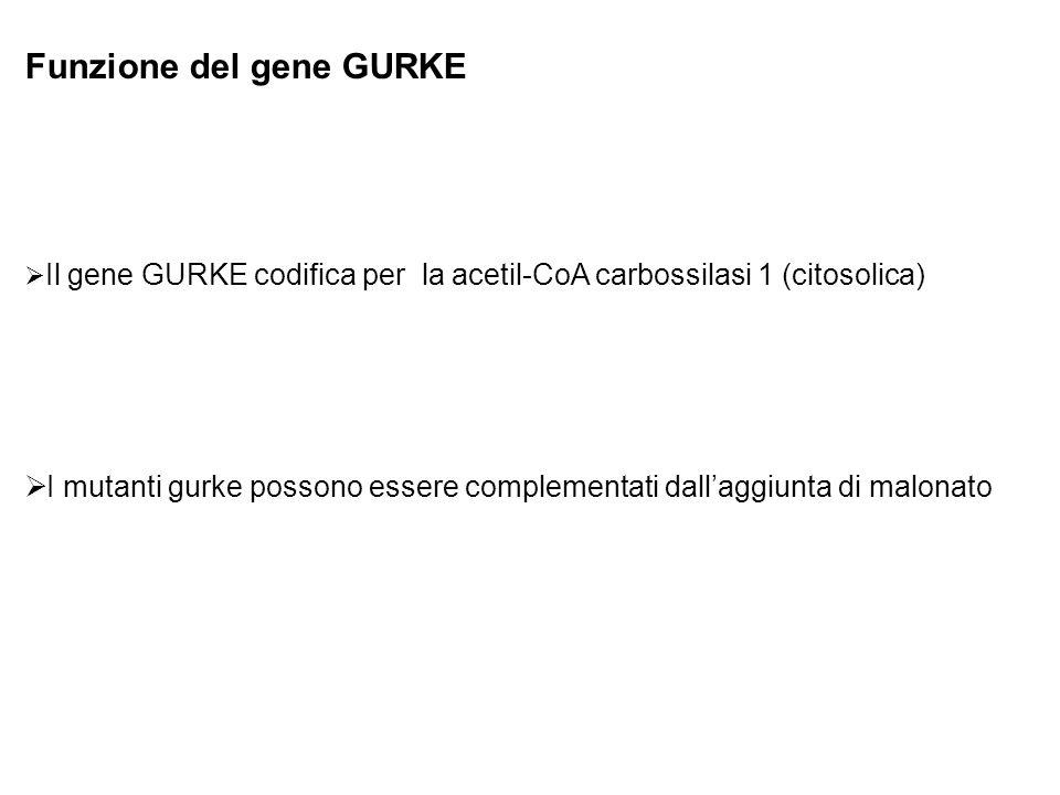 Funzione del gene GURKE