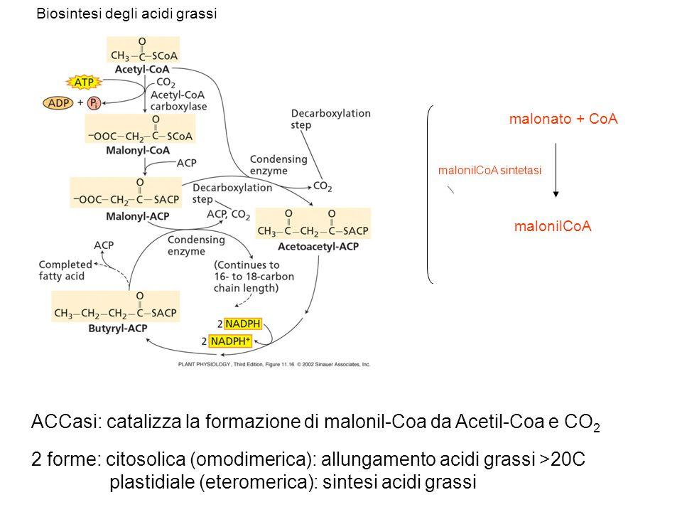 ACCasi: catalizza la formazione di malonil-Coa da Acetil-Coa e CO2