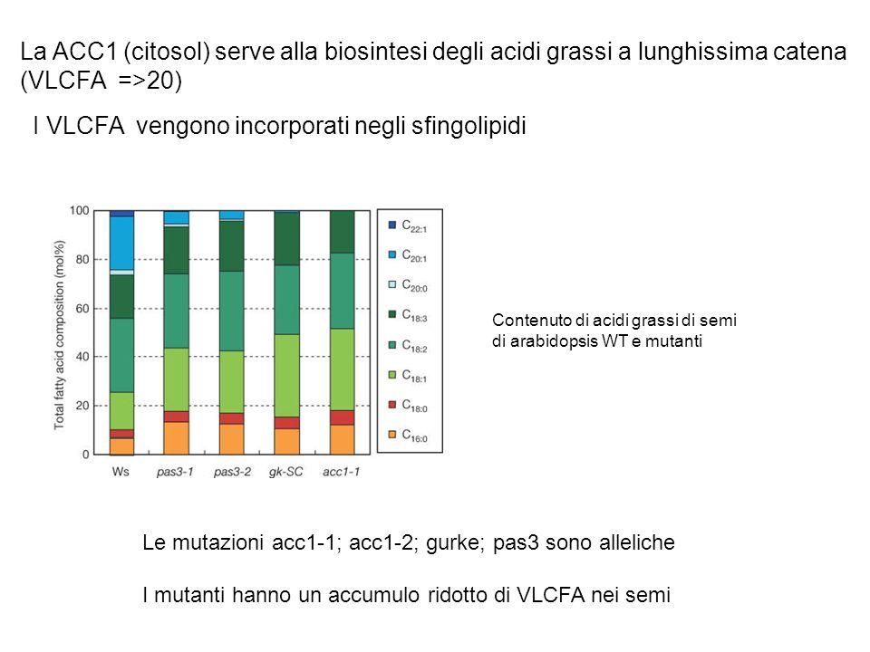I VLCFA vengono incorporati negli sfingolipidi