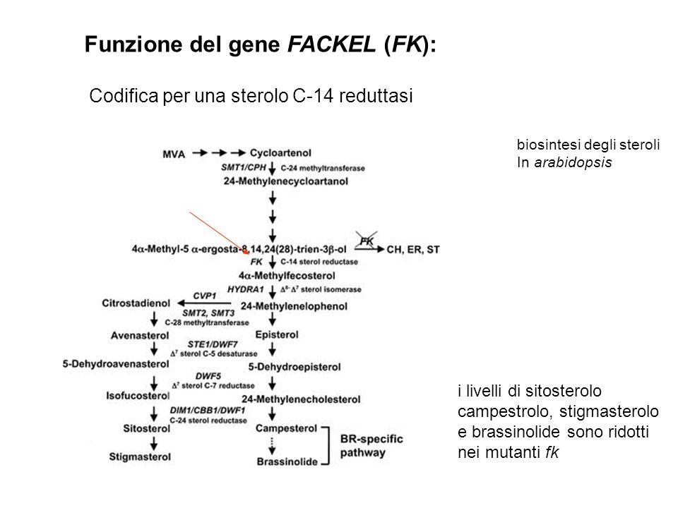 Funzione del gene FACKEL (FK):