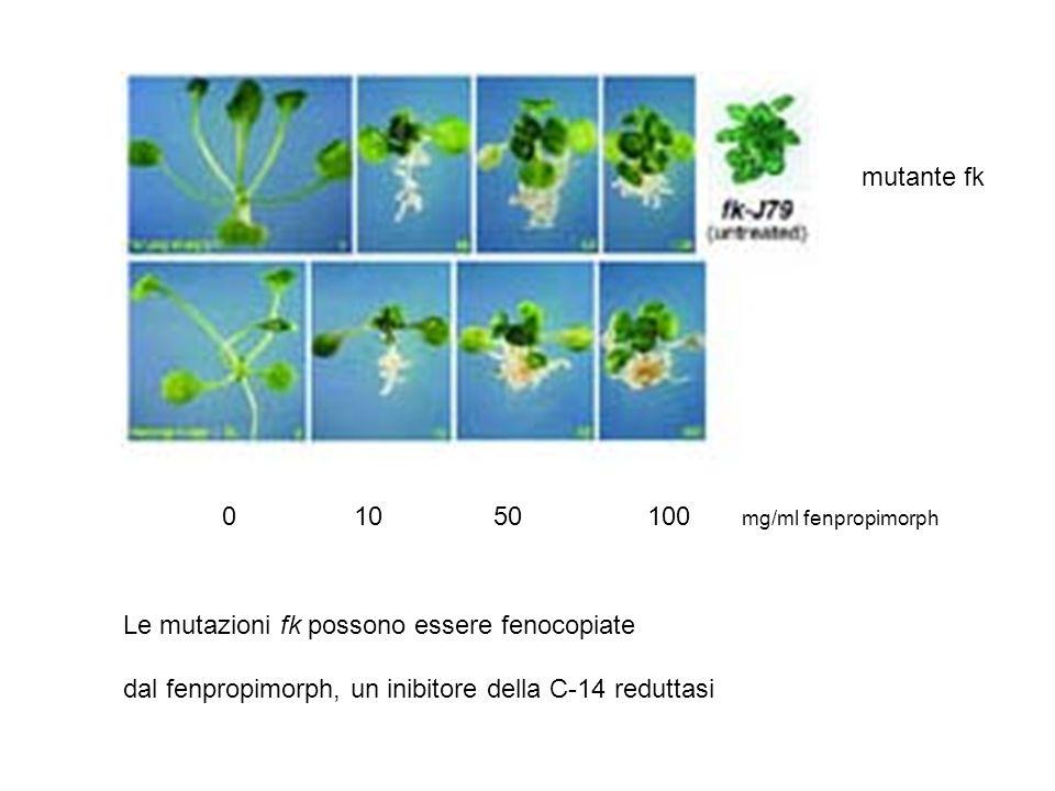 mutante fk 0 10 50 100 mg/ml fenpropimorph. Le mutazioni fk possono essere fenocopiate.