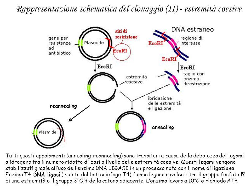 Rappresentazione schematica del clonaggio (II) - estremità coesive