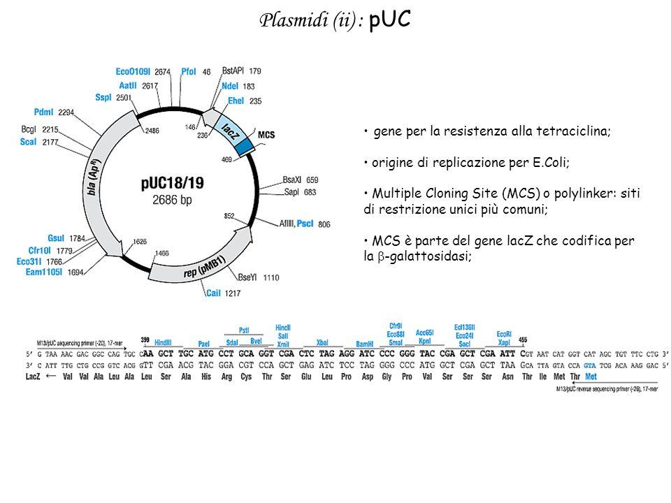 Plasmidi (ii) : pUC gene per la resistenza alla tetraciclina;