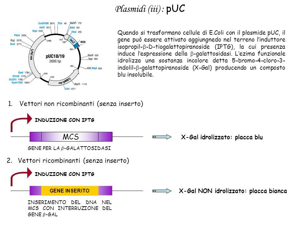 Plasmidi (iii) : pUC MCS Vettori non ricombinanti (senza inserto)