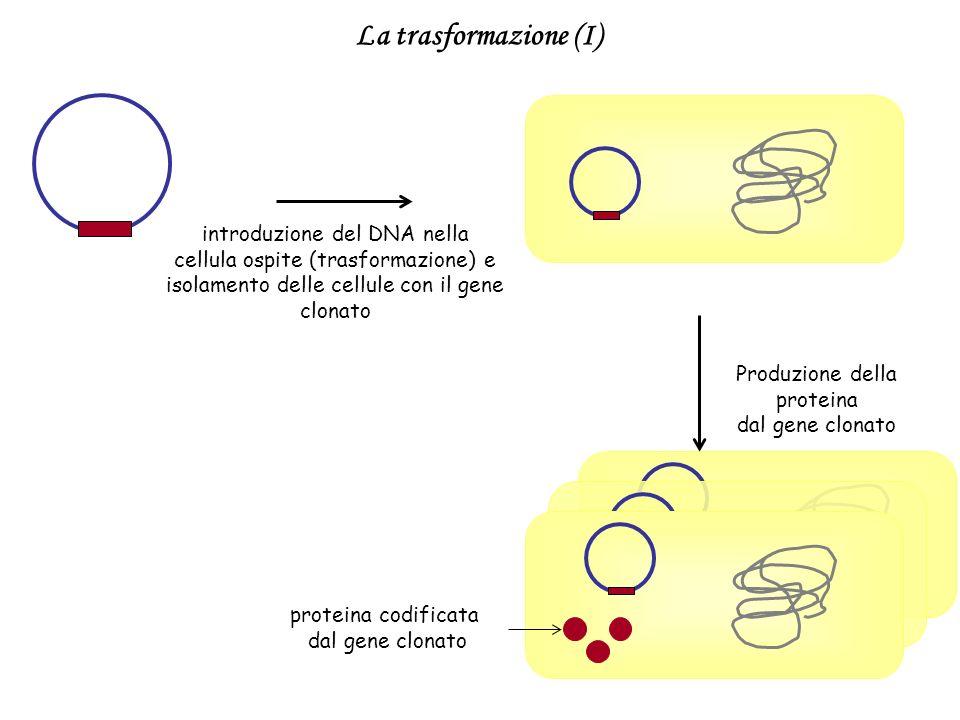 La trasformazione (I) introduzione del DNA nella