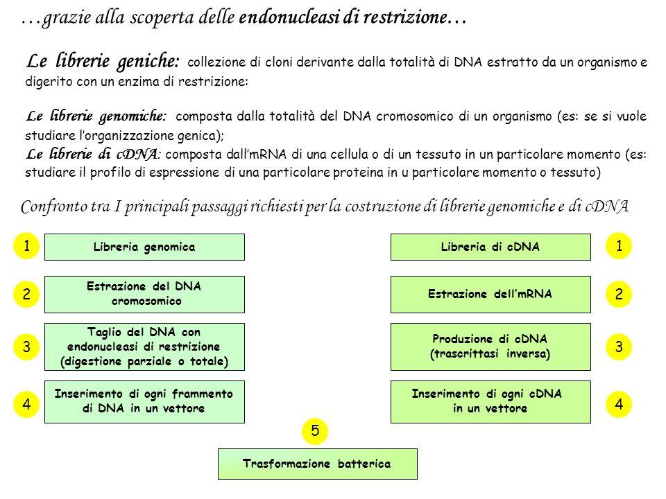 …grazie alla scoperta delle endonucleasi di restrizione…
