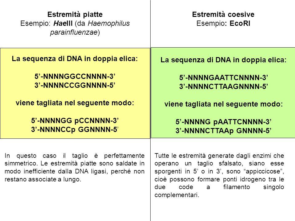 Esempio: HaeIII (da Haemophilus parainfluenzae)