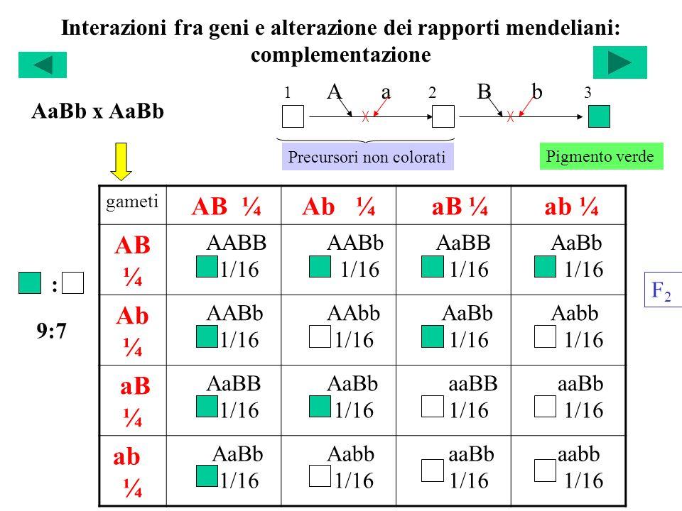 AB ¼ Ab ¼ aB ¼ ab ¼ AB¼ Ab¼ aB ¼ ab