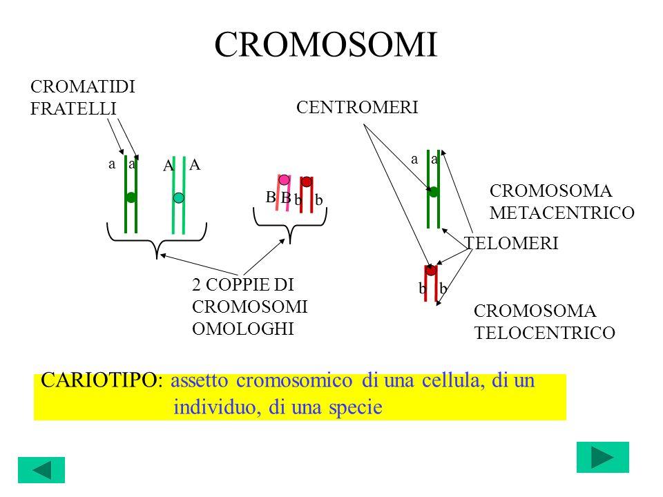 CROMOSOMI CARIOTIPO: assetto cromosomico di una cellula, di un