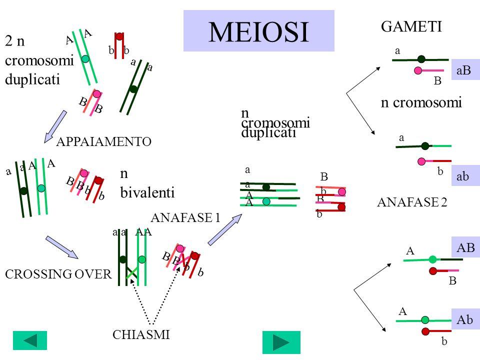 MEIOSI GAMETI 2 n cromosomi duplicati n cromosomi