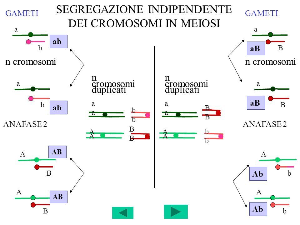 SEGREGAZIONE INDIPENDENTE DEI CROMOSOMI IN MEIOSI