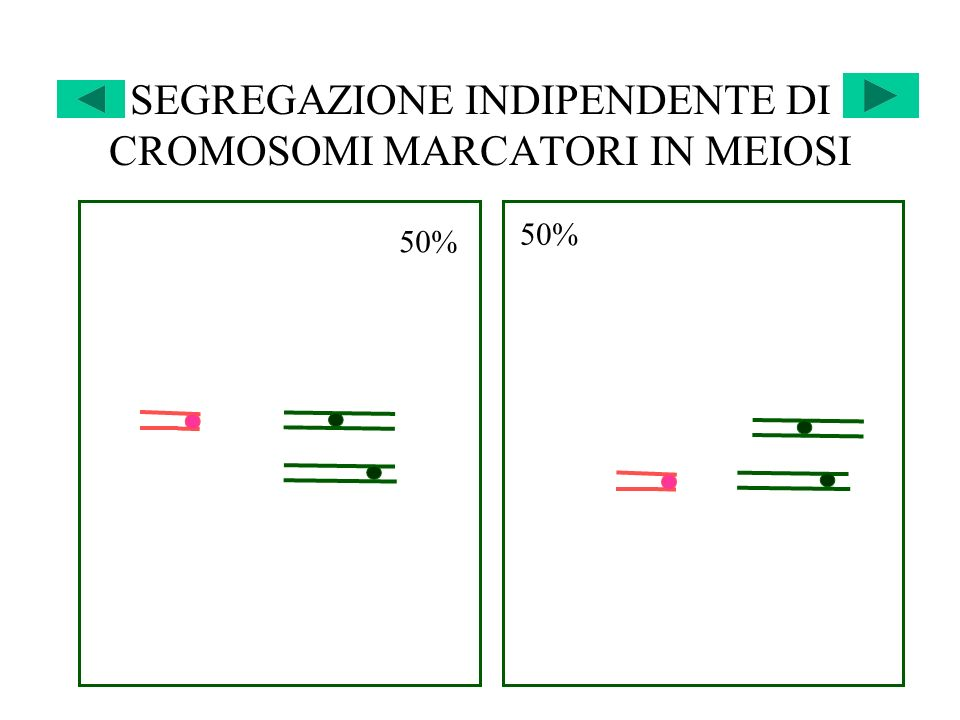 SEGREGAZIONE INDIPENDENTE DI CROMOSOMI MARCATORI IN MEIOSI