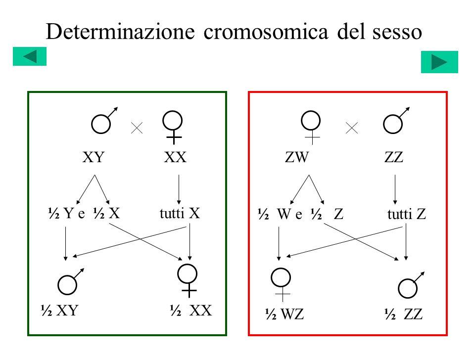 Determinazione cromosomica del sesso